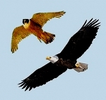 Águia e Falcão